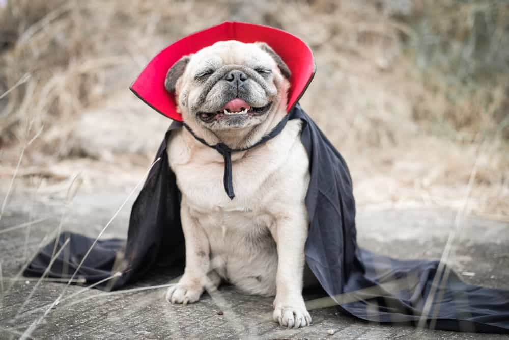 Halloween Stress in Dogs