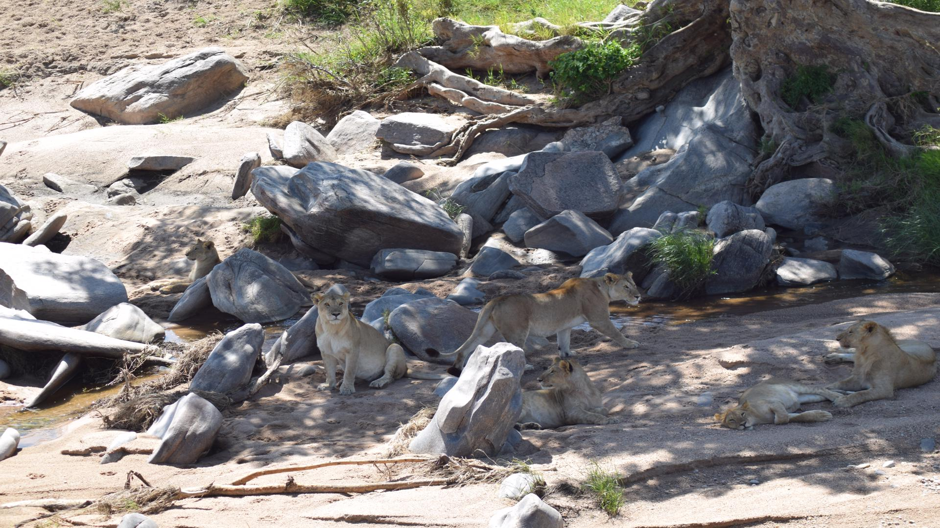 Pack of lionesses