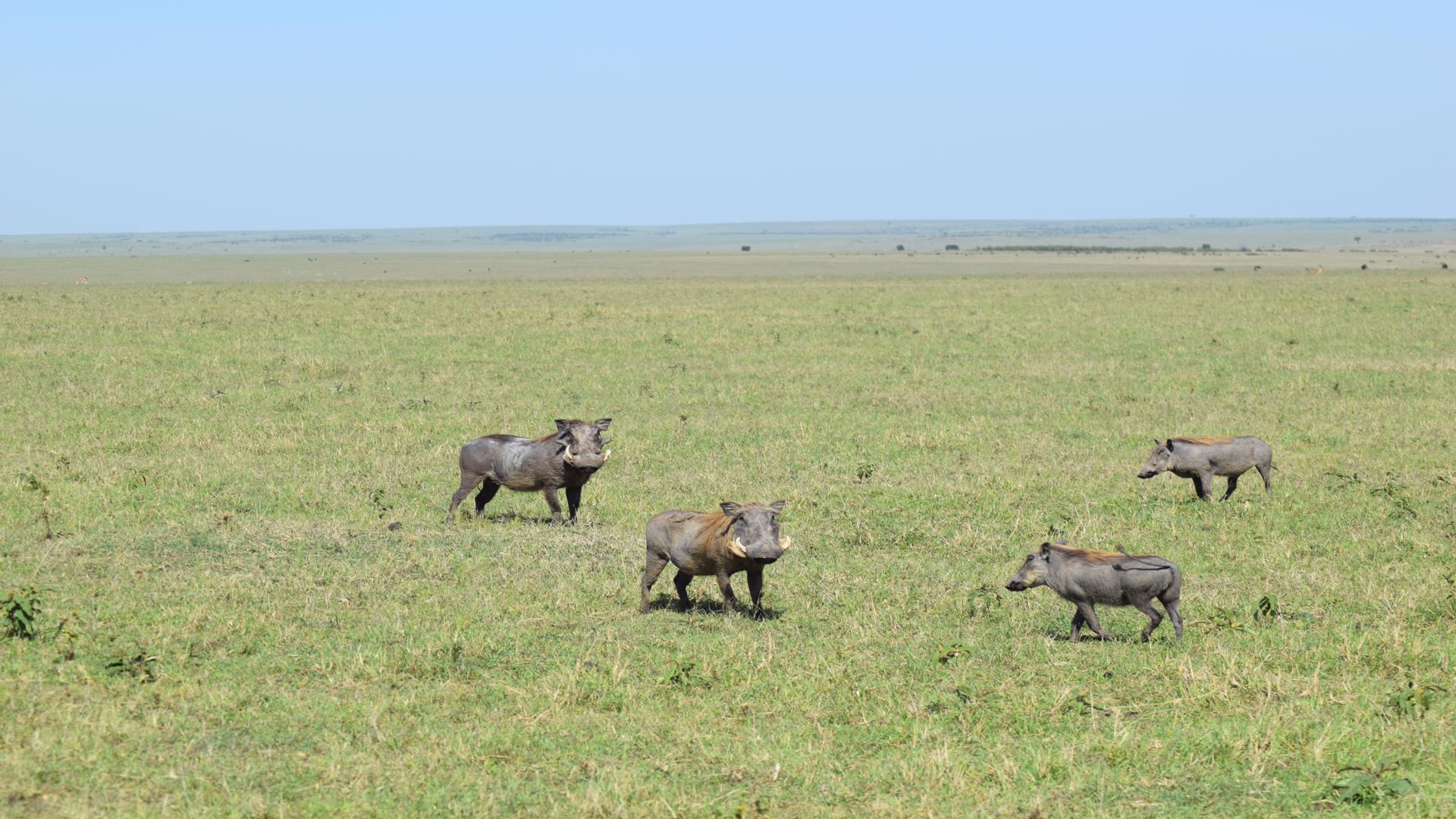 scardy hogs