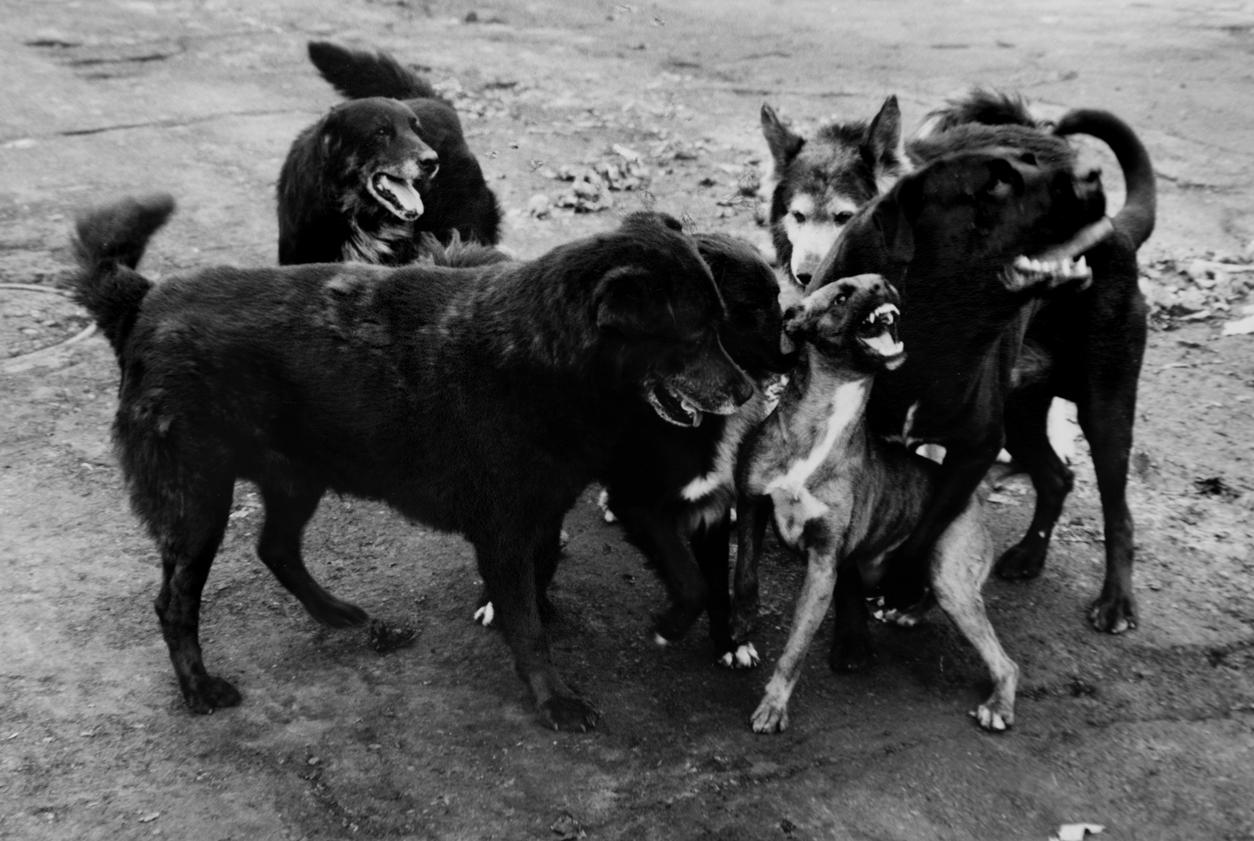 Graciela Iturbide. Perros, 2015. Plata sobre gelatina