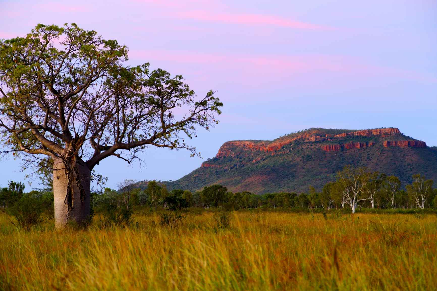 Large Tree infront of mountain in Central Kimberley Region