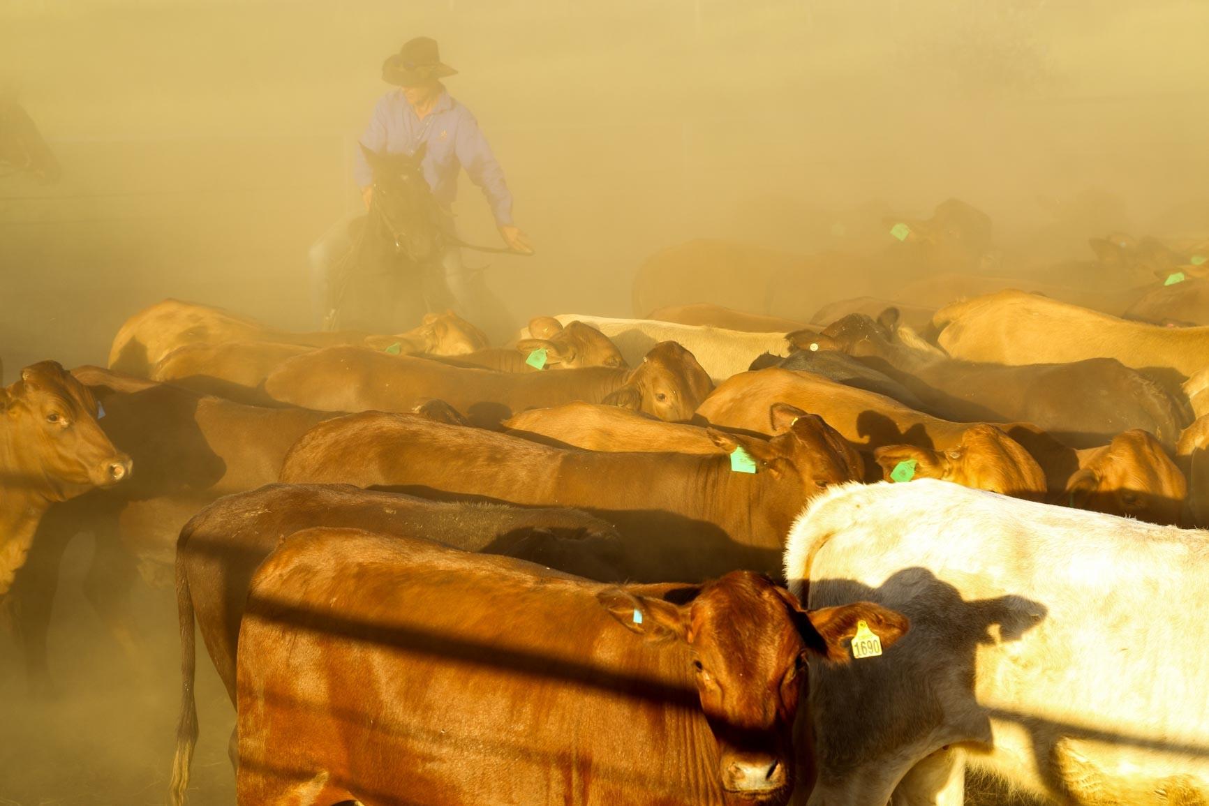 Man wearing cowboy hat on horse herding  cows