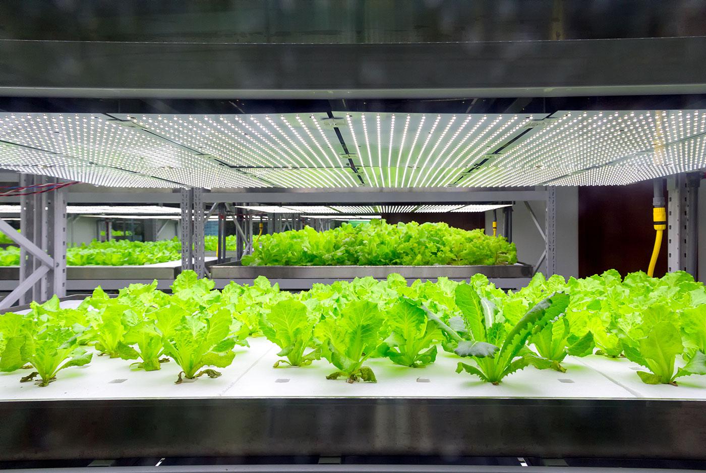Foto af salat, der spirer indendørs