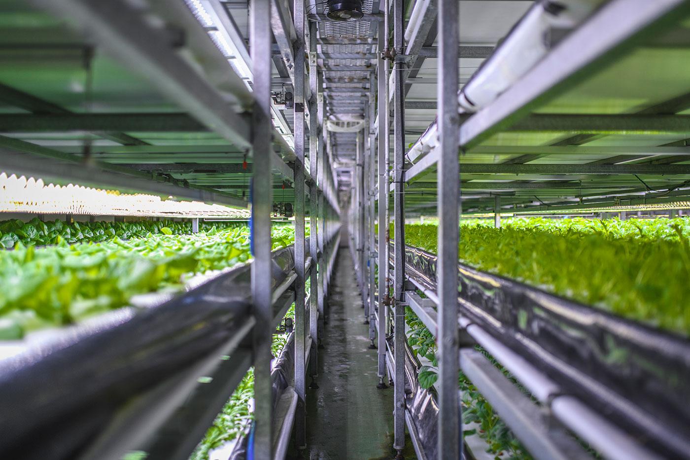 Foto af lange rækker af indendørs landbrug, hvor salat spirer