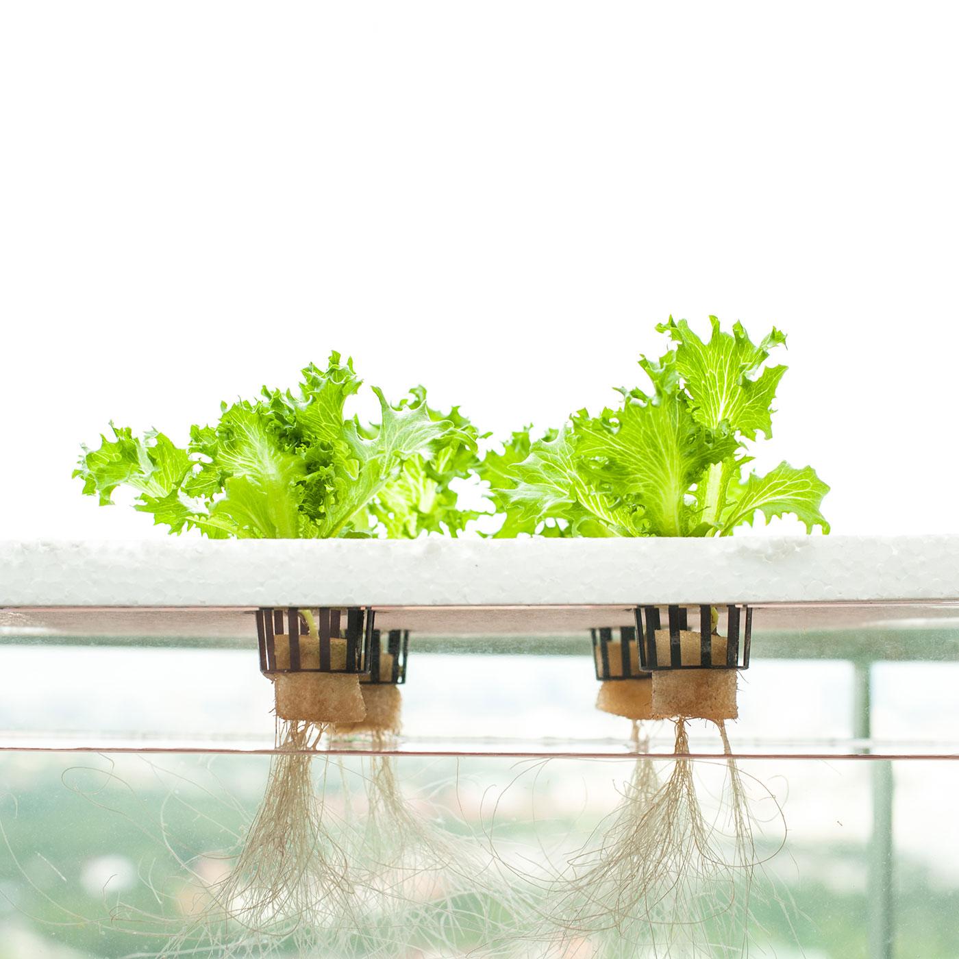 Foto af salat, der vokser uden jord, hvor man ser rødderne stikke ud i luften