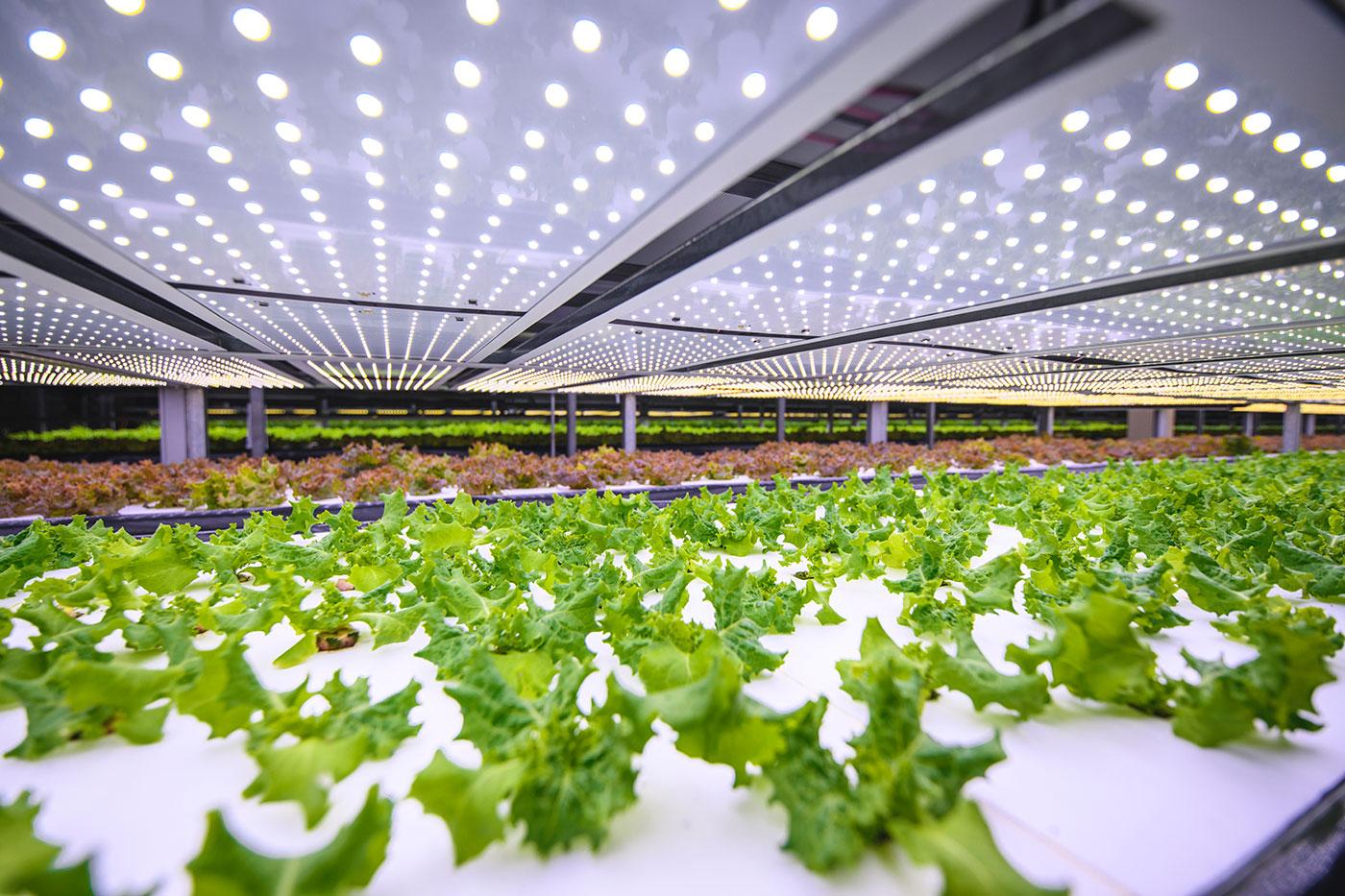 Foto af salat, der spirer op i et vertikalt landbrug
