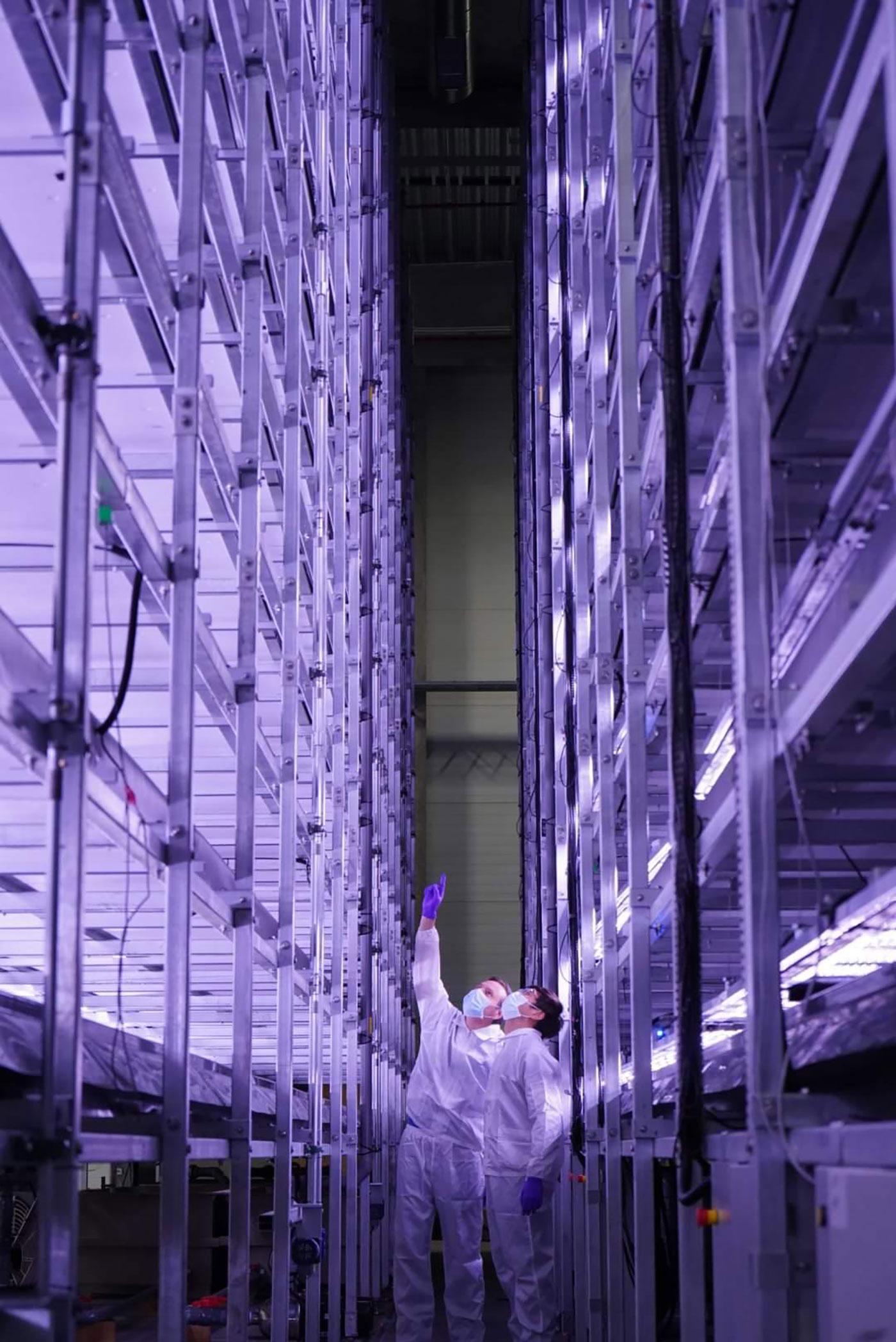 indendørs foto af et vertikalt landbrug badet i lilla lys: to mænd peger op og kigger op.