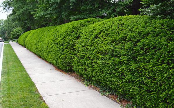 shrub trimming service