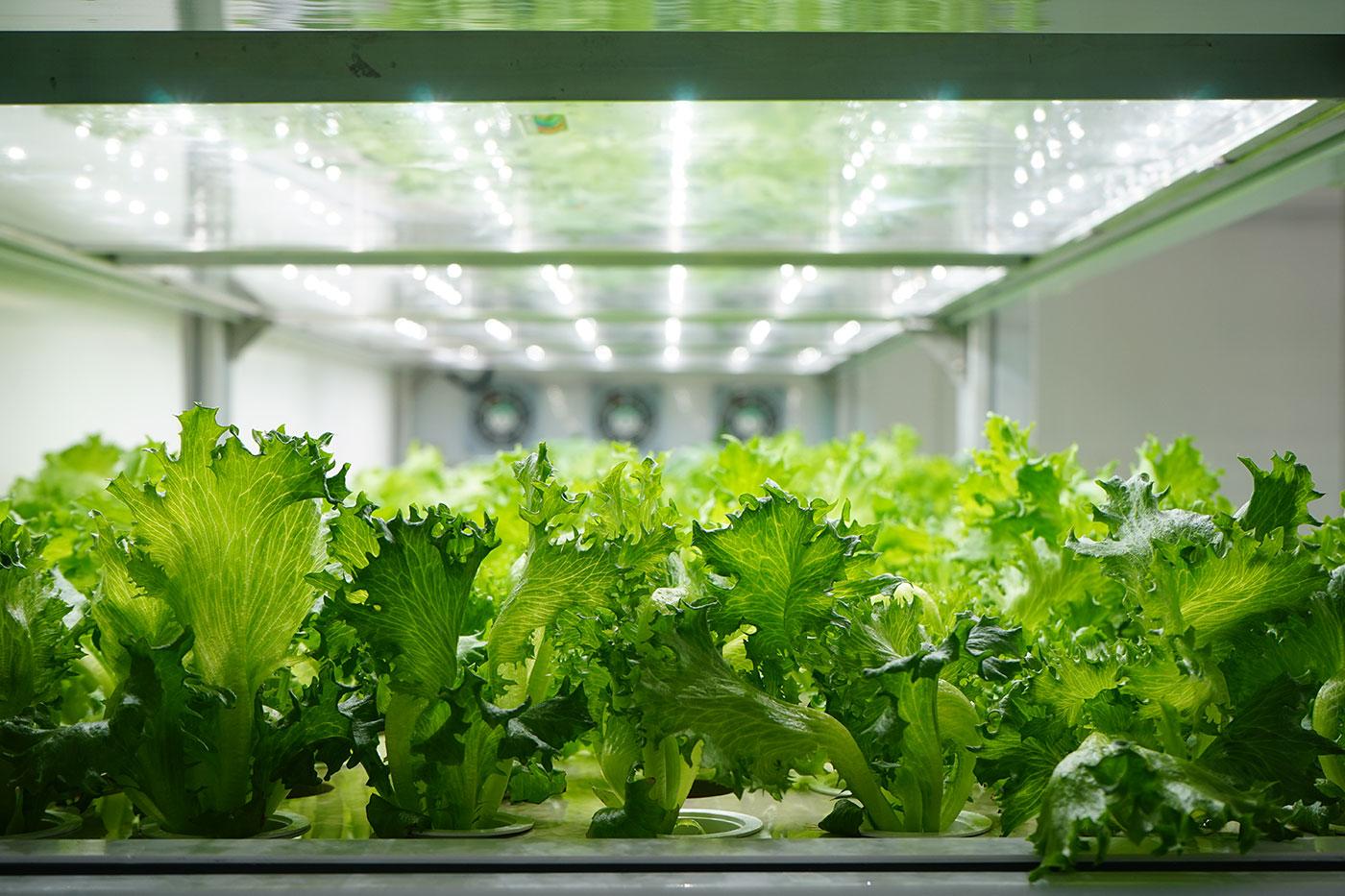Salat der vokser på en vertikal farm