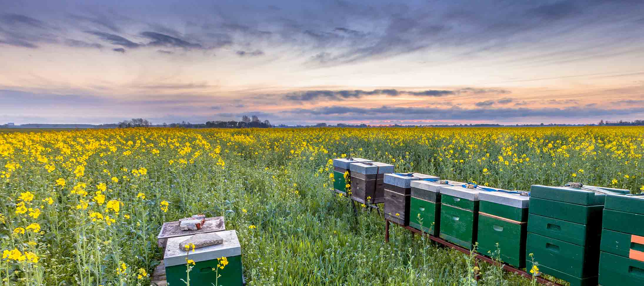 Beehives in a bright yellow rapeseed field