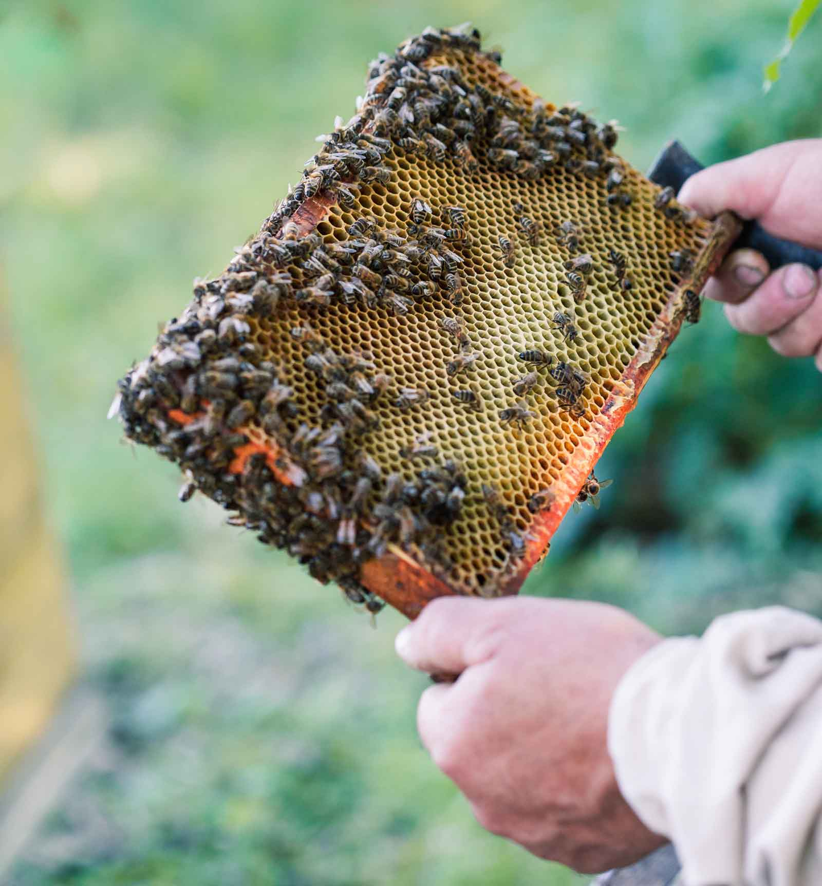 Beekeeper holding tray
