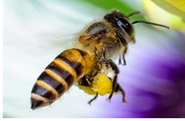 Flying honeybee carrying pollen