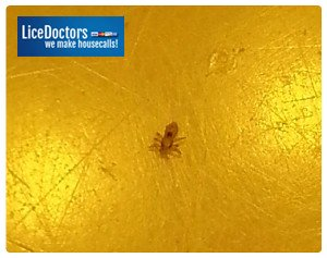 close up image of adult louse on yellow background.