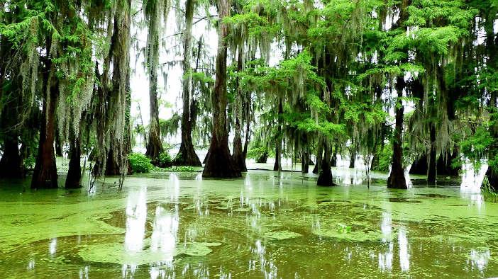 Bayou swamp Cypress trees with Spanish moss