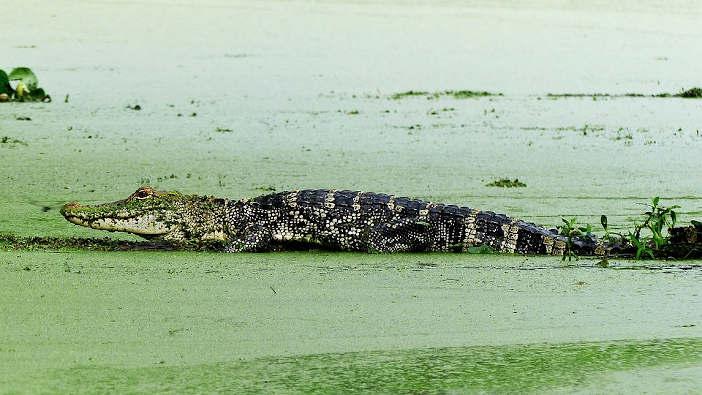 alligator sunning in the duckweed swamp.