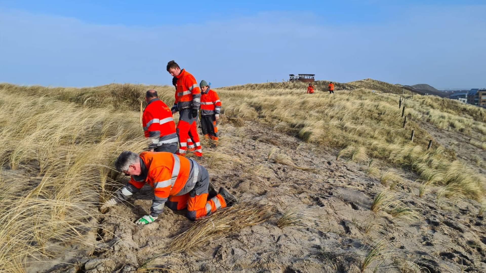 Progroen & Milieu steekt het helmgras en plant nieuwe in de duinen