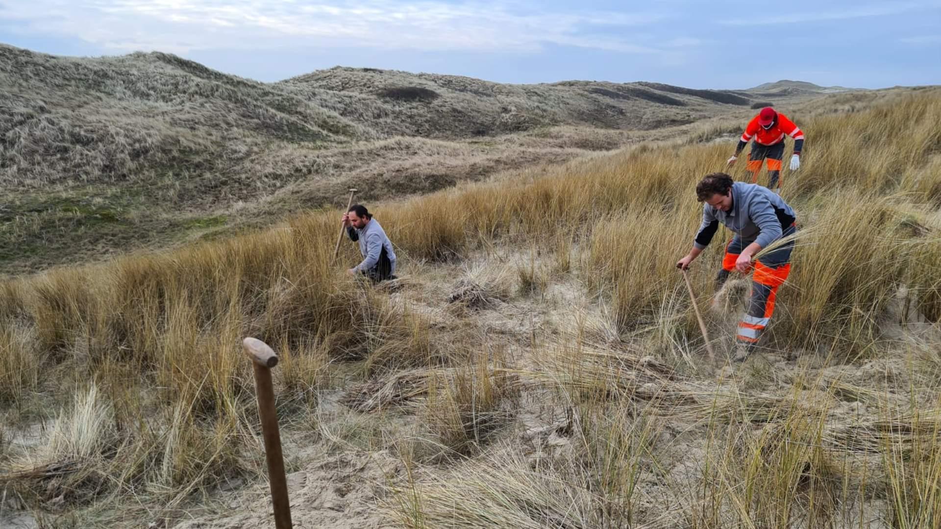 Recent heeft Progroen voor HHNK (Hoogheemraadschap Hollands Noorderkwartier) het helmgras van een stuk van onze Noord-Hollandse kuststrook verbeterd.