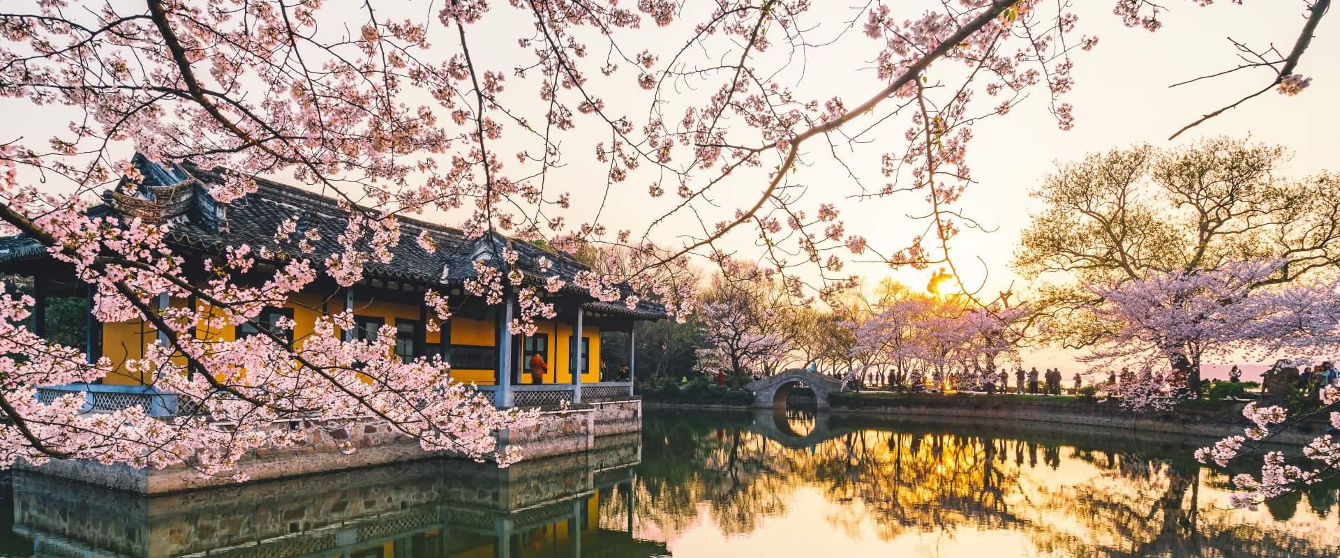Cherry blossom overhang, Turtle Isle Japan