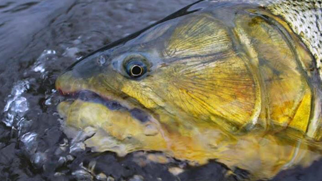 Golden Dorado in Argentina