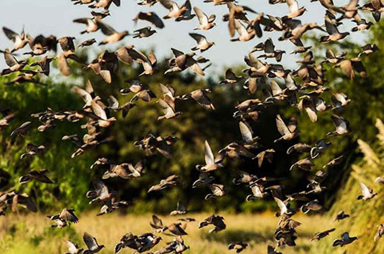 Why are there so many doves in Argentina?