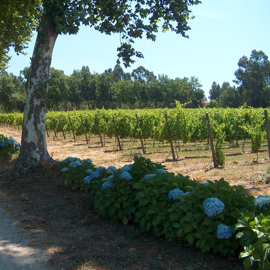 Encosta do Xisto wine from the Vinho Verde region of Portugal.