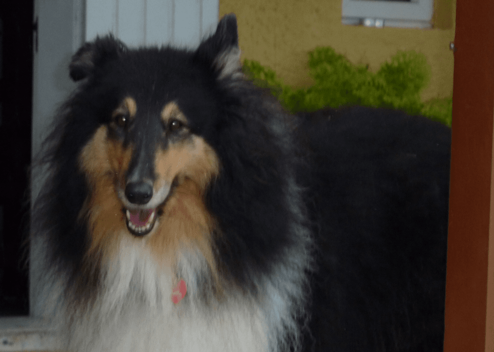 Holly the Collie Dog