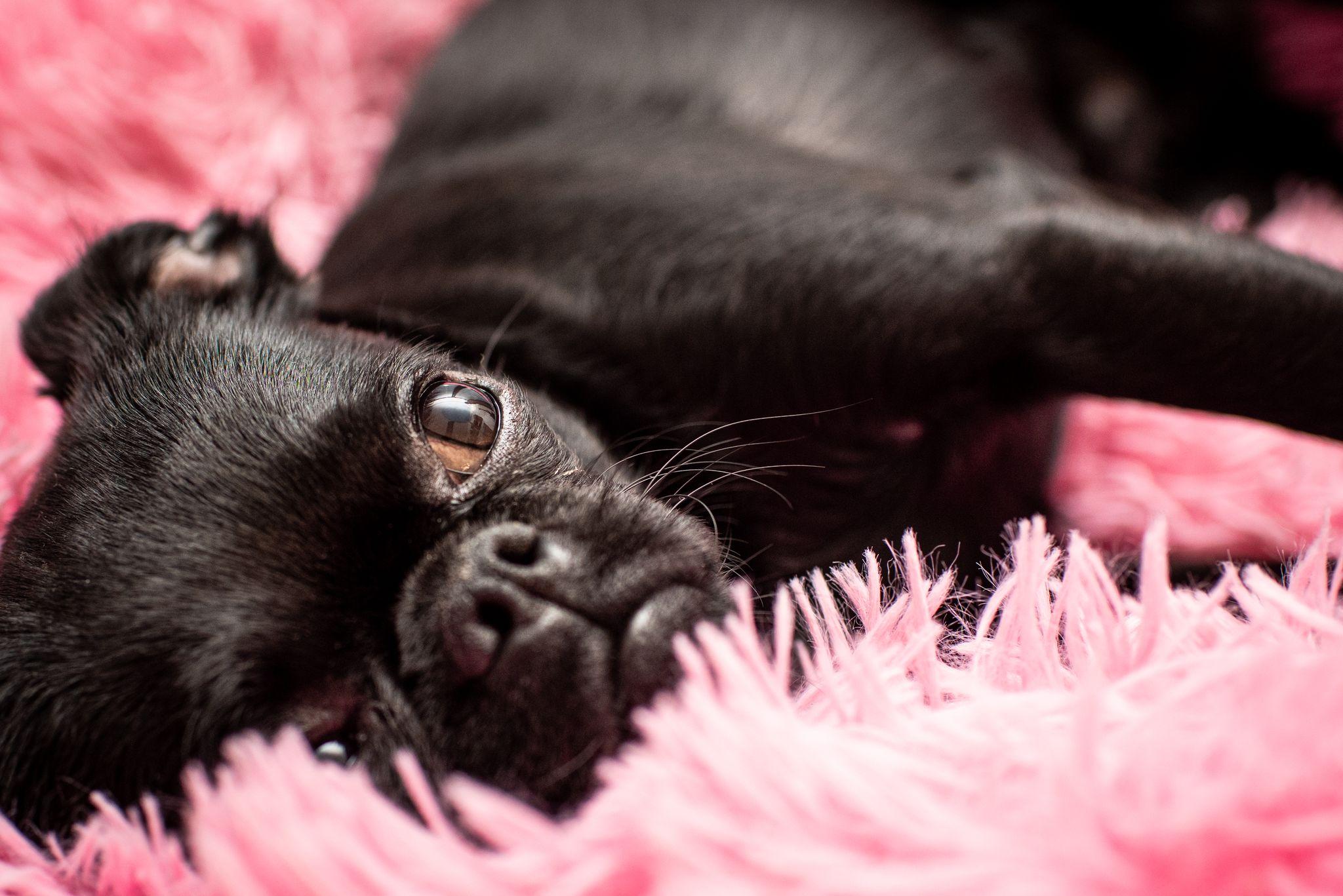 Koira makaamassa pinkillä matolla, referenssi kuva 1