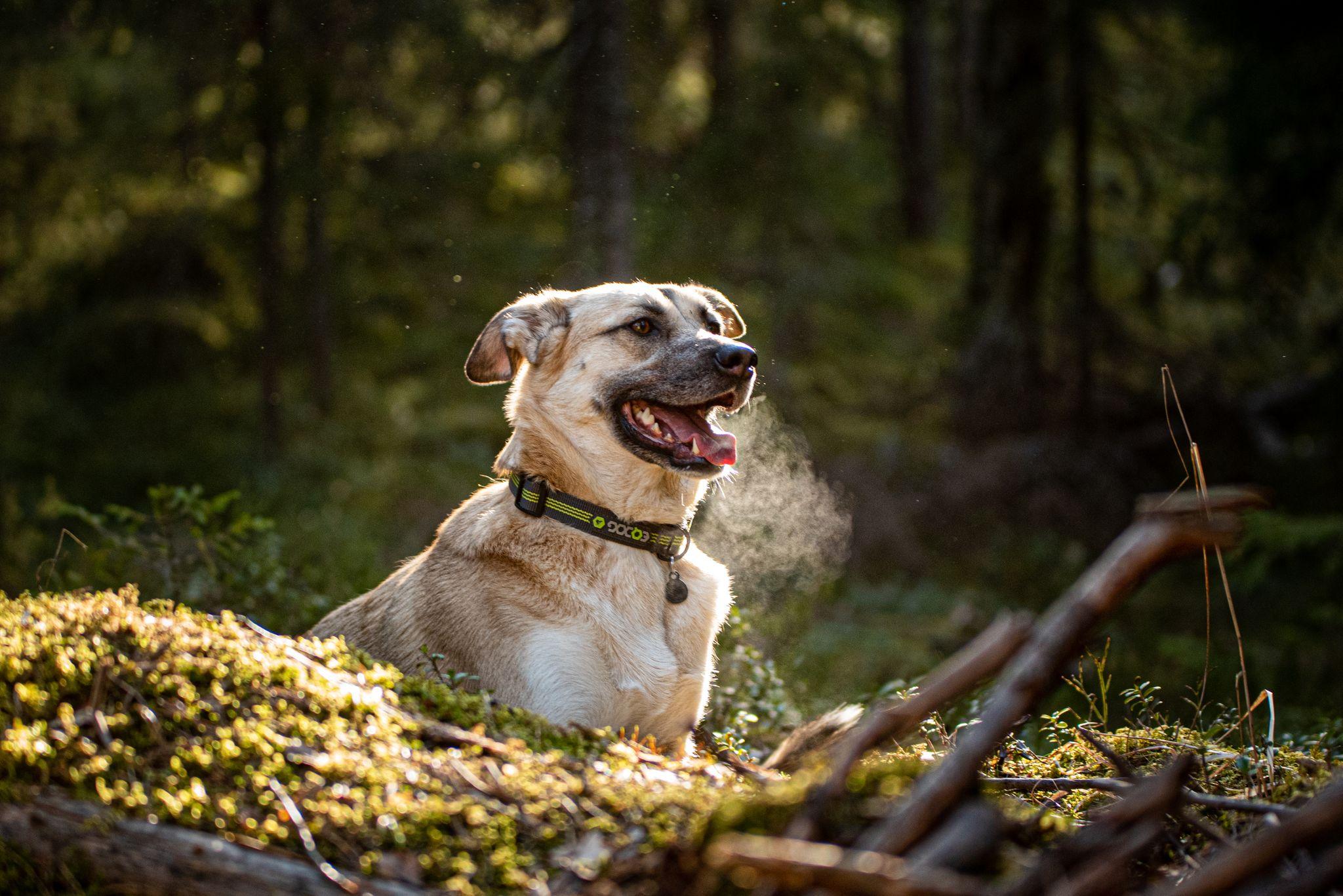 Koira metsässä,  referenssi kuva 3