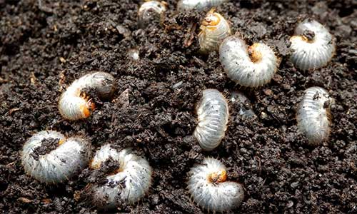 Grub worms infesting a College Station, TX lawn's soil.