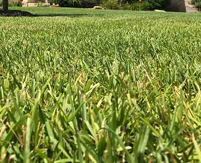 This lawn in College Station, TX benefits from regular fertilization treatments.