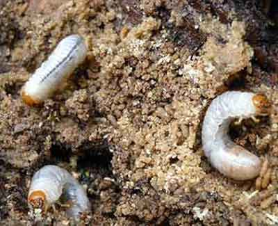 Grubs in this College Station lawn mean that it needs insect control treatments.