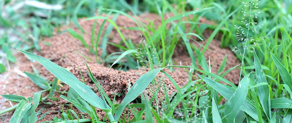 This fire ant mound in College Station, TX could pose dangers.