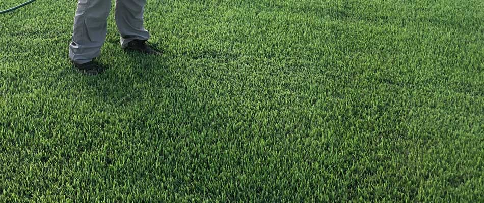 Healthy, lush grass in a lawn in the Brazos Valley of Texas.