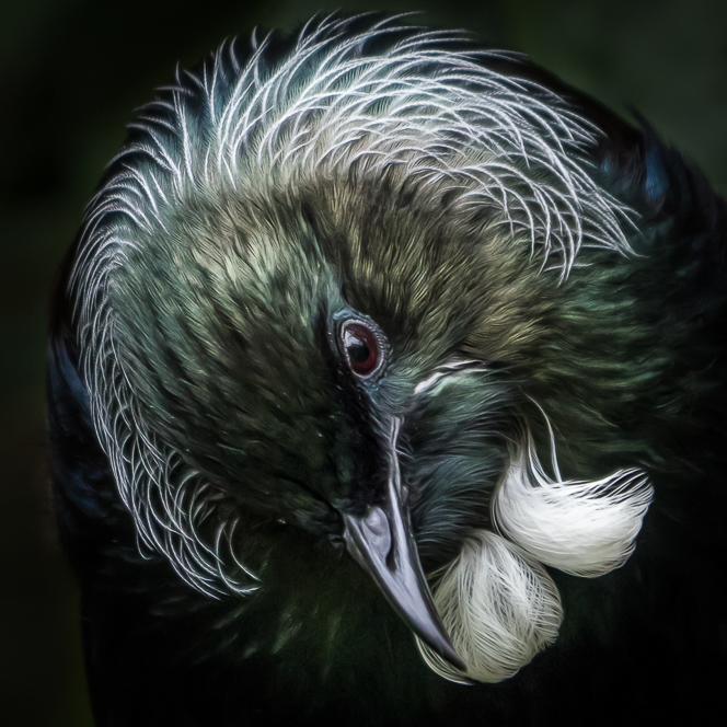 Portrait of a Tui