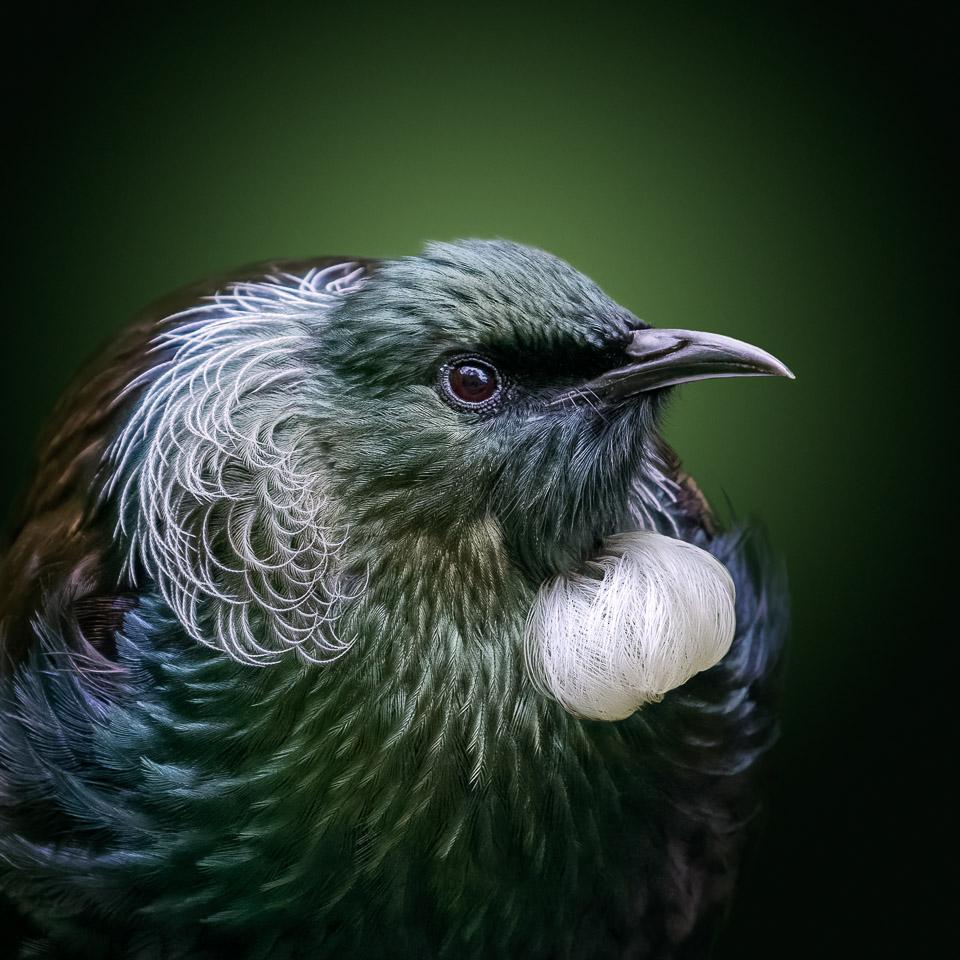 In fine feather-Tui