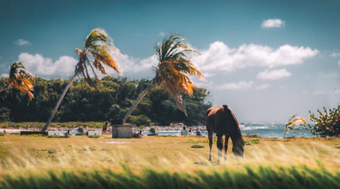 A horse in the grassy fields of Puerto Rico
