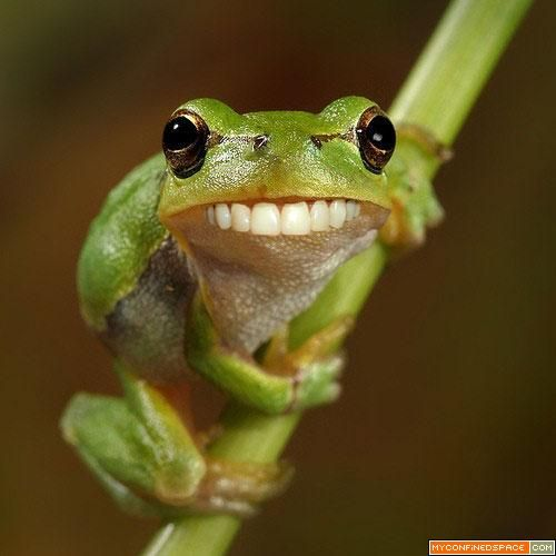 A photoshopped frog smiling with human teeth