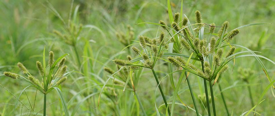 How to Remove Nutsedge From Lawns in the Brazo's Valley