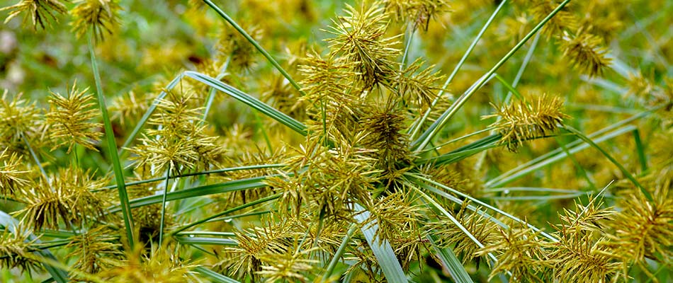 Close up photo of yellow nutsedge weeds growing on a College Station, TX property.