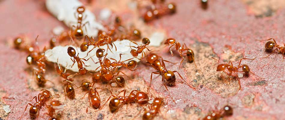 3 Reasons Your Yard Should Be Treated for Fire Ants in Spring