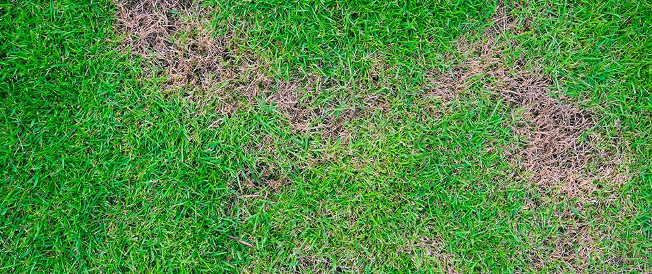 Brown patch has formed in this Bryan lawn due to overwatering.