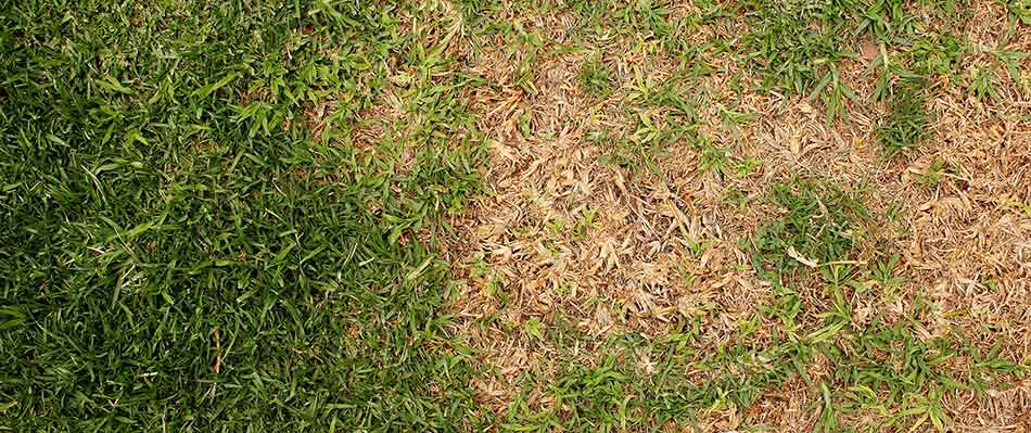 Brown patch can affect lawns in Bryan, TX.