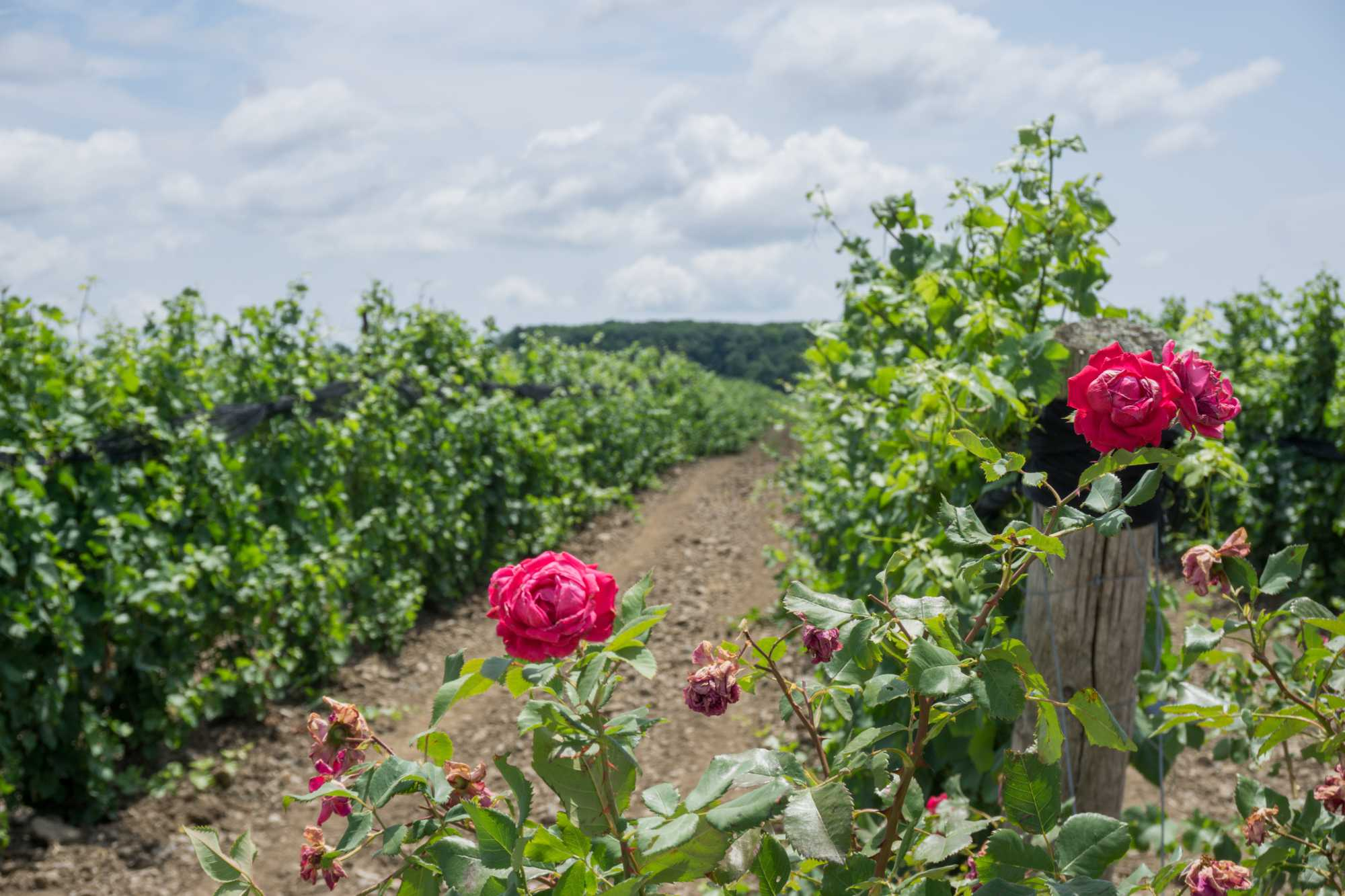 Roses in a vineyard in Prince Edward County