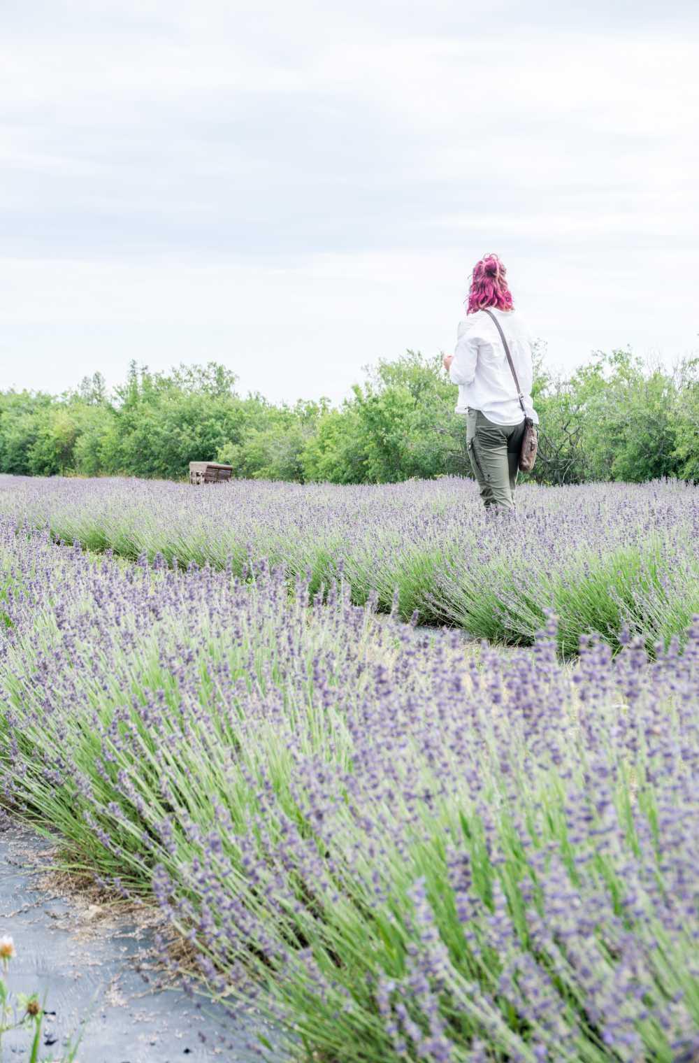 Woman walking in lavender field in Prince Edward County