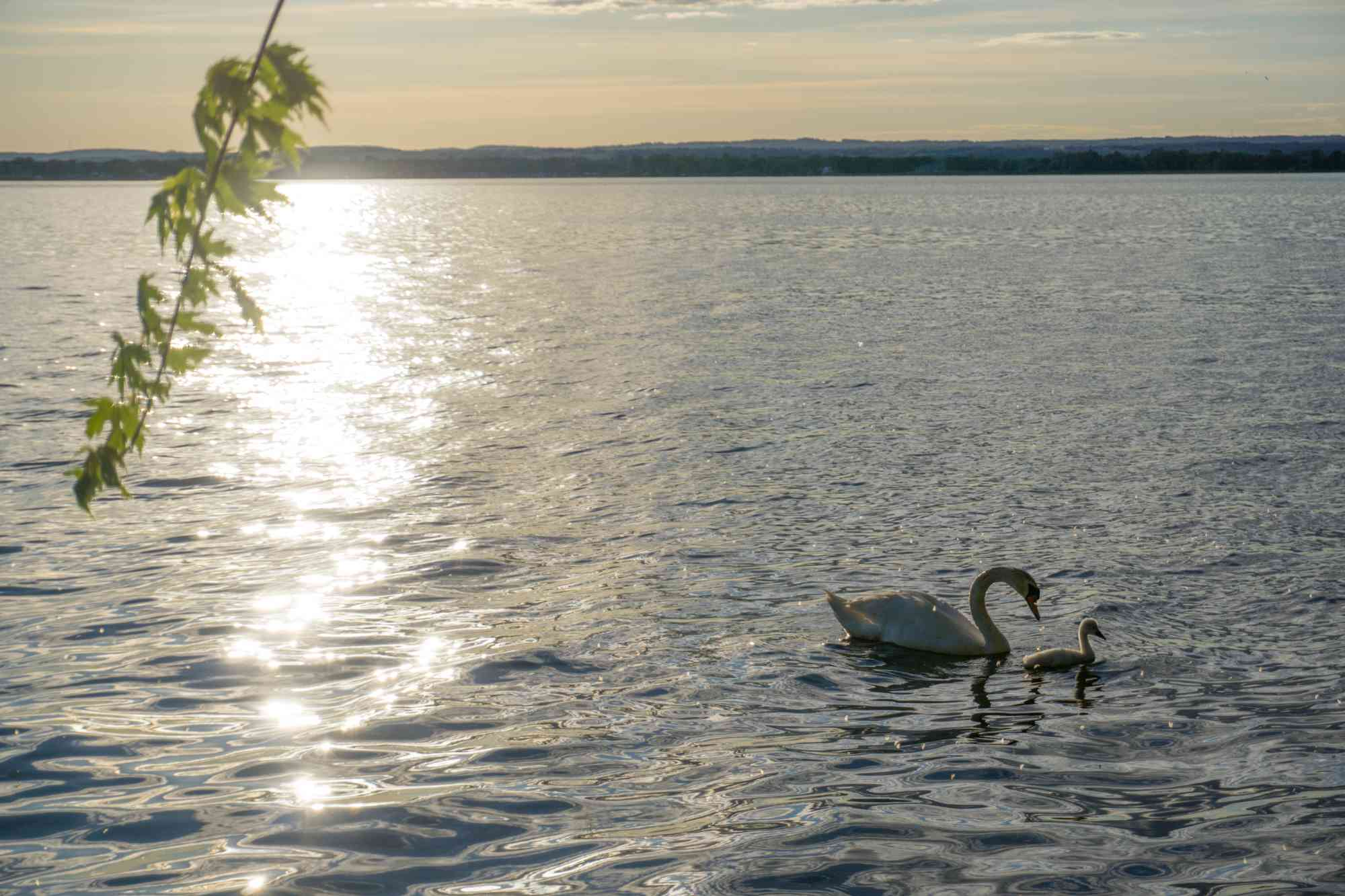 Swan and baby swan swimming in Weller's Bay at The Empty Nest in Prince Edward County