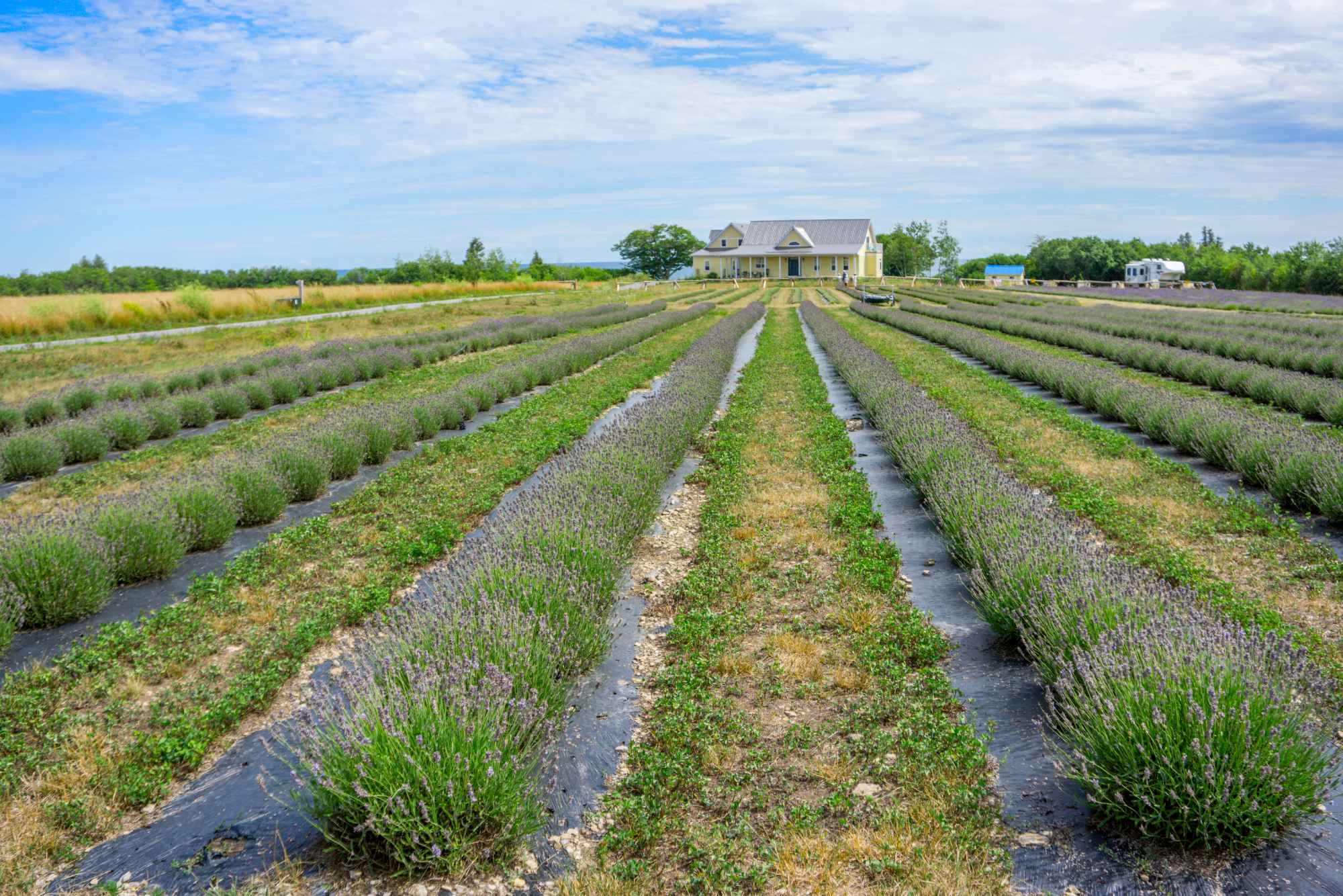 Field of lavender with house in background
