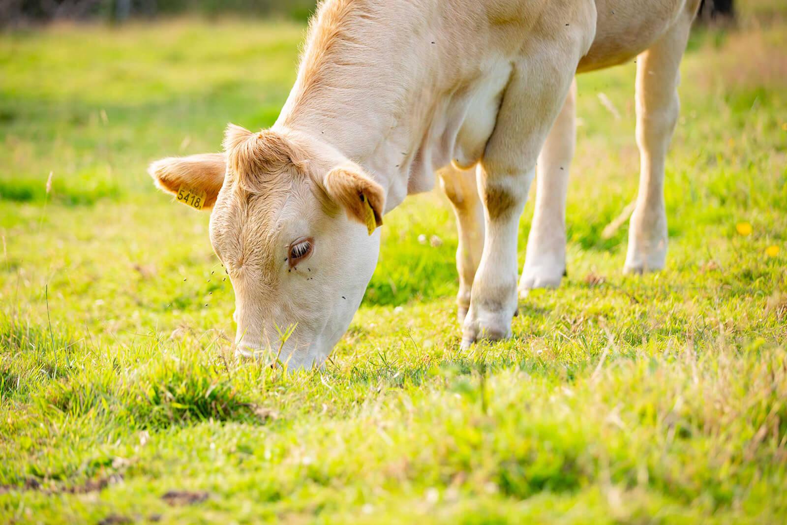 Hoeve Villare Koeien