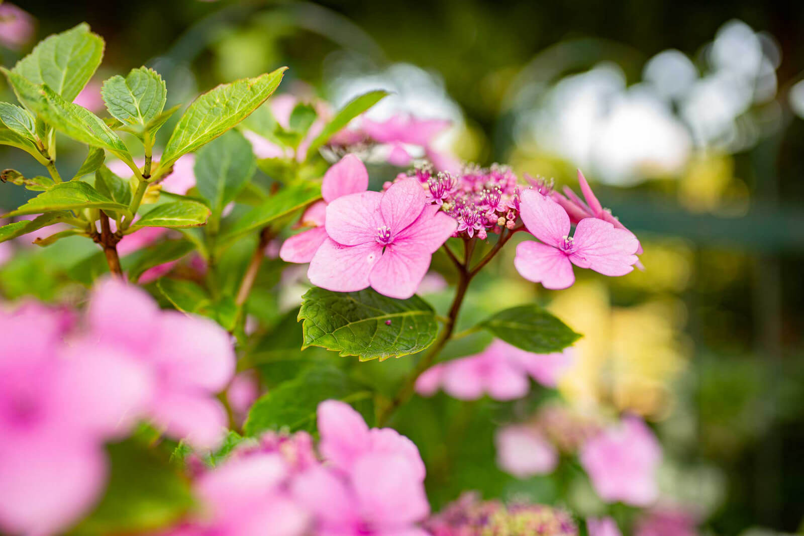 Roze Bloemen Heuvelland Limburg