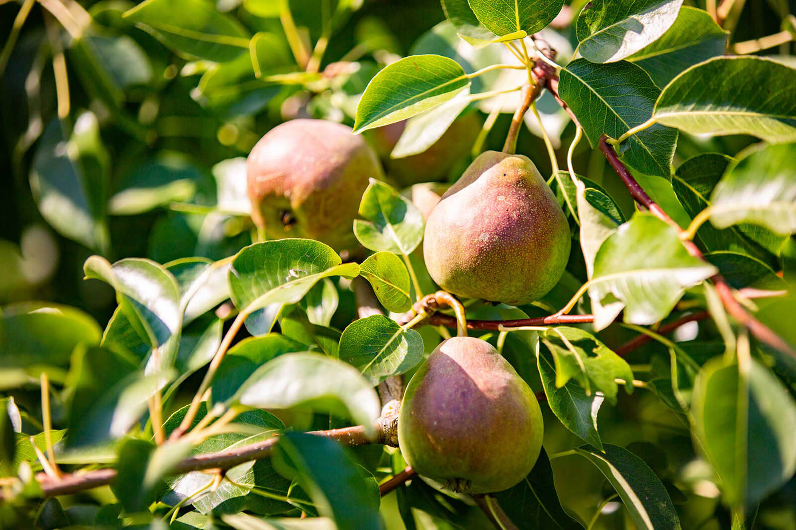 Peren en appels natuurgebied Limburg