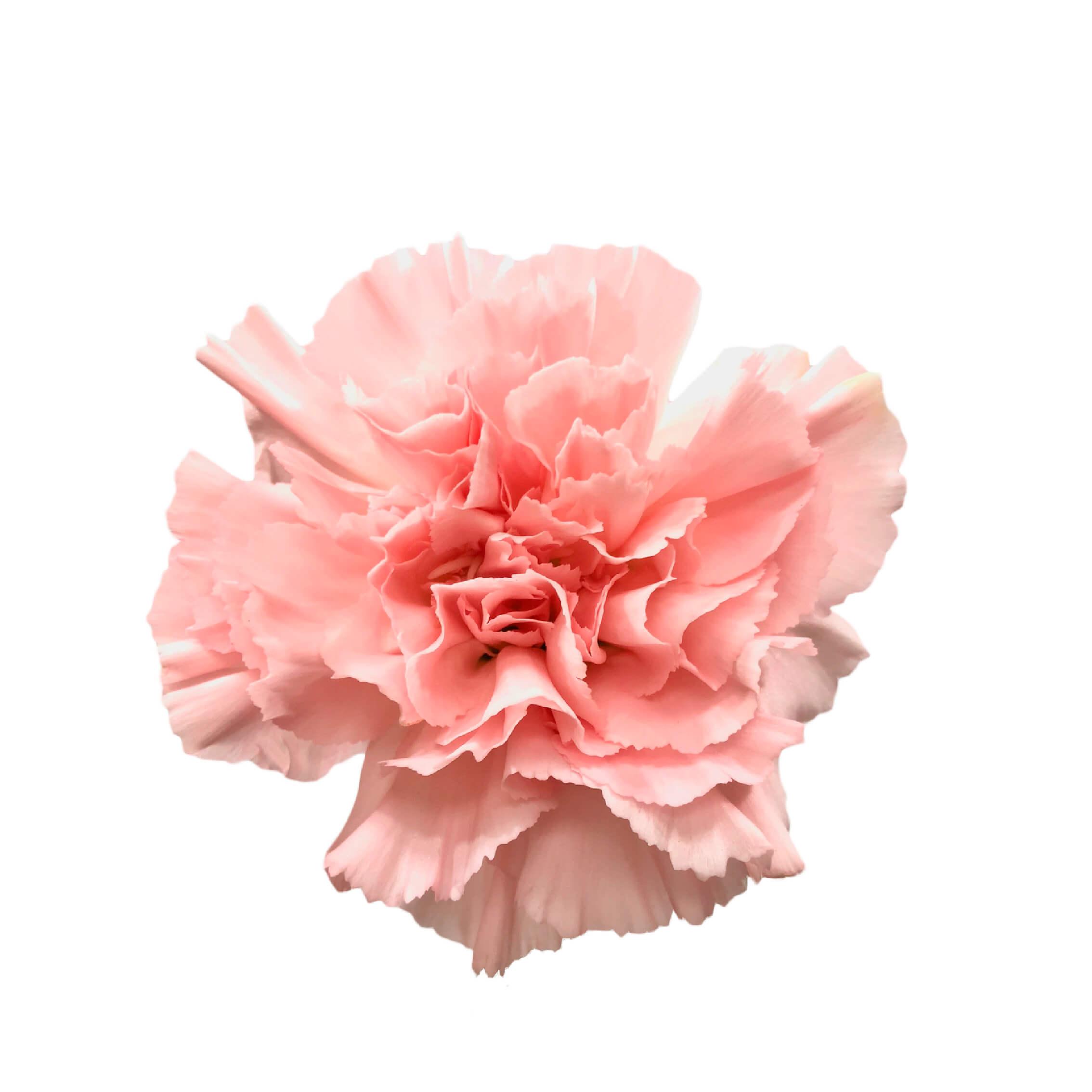 Pink Montezuma